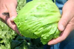 Der Eisbergsalat ist des Deutschen liebster Salat. Foto: Salerno